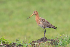 Black tailed Godwit in the meadow on a hill.