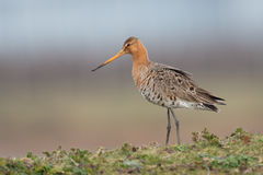 Black tailed Godwit in the meadow on a hill. Stock Image