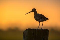 Black-tailed Godwit at orange sunset Stock Photos