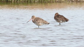 Black tailed Godwit resting stock video