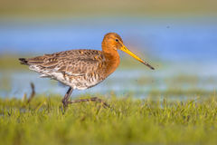 Black tailed Godwit running through wetland