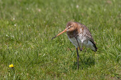 Black tailed Godwit scratching its head Stock Photos