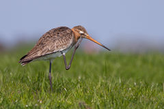 Black tailed Godwit scratching its head Royalty Free Stock Images