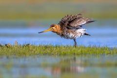 Black tailed Godwit shaking feathers Royalty Free Stock Image