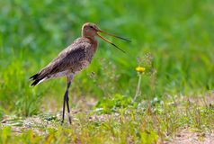 Black-tailed godwit cries at open field with green grass. Black-tailed godwit shouts at open space in green meadows stock photography
