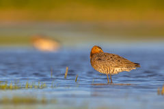Black tailed Godwit sleeping Stock Photography