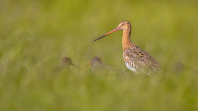 Black-tailed Godwit with smaller Redshank wader birds Stock Images