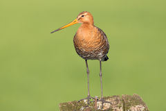 Black tailed Godwit standing on a pole in the meadow. Stock Images