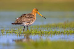 Black tailed Godwit standing in shallow water of a wetland Stock Photography