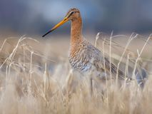 Black-tailed godwit stands in dry yellow grassy shore near a pond royalty free stock images