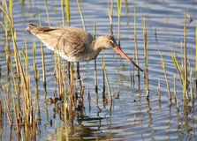Black-tailed godwit in swamp