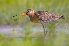Black-tailed Godwit wader bird calling Royalty Free Stock Images