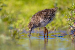 Black-tailed Godwit wader bird chick hunting Royalty Free Stock Image
