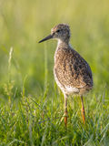 Black-tailed Godwit wader bird chick standing in meadow Royalty Free Stock Image