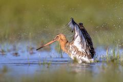 Black-tailed Godwit wader bird flapping off water. Black-tailed Godwit (Limosa limosa) wader bird flapping off water drops after bathing in shallow water of Royalty Free Stock Image