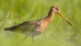 Black-tailed Godwit wader bird walking in grass. Black-tailed Godwit (Limosa limosa) wader bird walking in grass. This breeding habitat occurs in the Dutch Stock Image