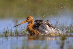 Black-tailed Godwit wader bird washing Stock Photo