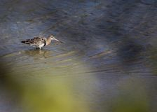 Black Tailed Godwit Stock Images