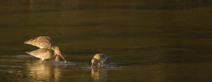 Black-tailed Godwits in evening light Stock Image