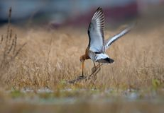 Black-tailed godwits in fierce battle in the old yellow grass. Black-tailed godwits in severe combat in air and on the ground at spring in fields stock photos