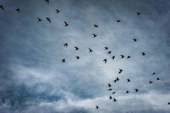Black-tailed godwits Stock Photography