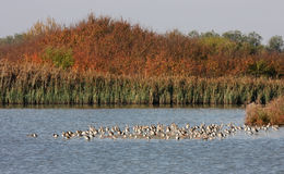 Black-tailed godwits in Oasi Cannevie, Italy Stock Photography