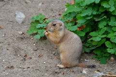 Black-tailed ground squirrel Royalty Free Stock Photo