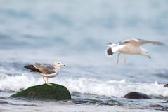 Black-tailed gull. Royalty Free Stock Images