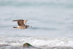 Black tailed gull Stock Photos