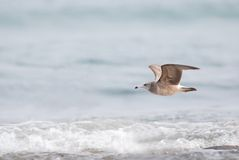 Black tailed gull Royalty Free Stock Photo