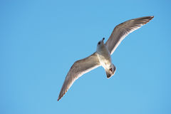 Black tailed gull Royalty Free Stock Photography