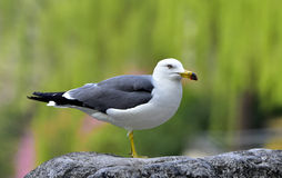 Black-tailed Gull Royalty Free Stock Photography