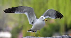 Black-tailed Gull Royalty Free Stock Photo