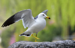 Black-tailed Gull Royalty Free Stock Image