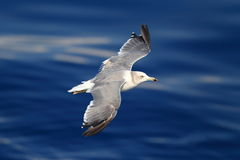 Black-tailed gull Royalty Free Stock Images