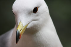 Black-tailed Gull Stock Photos