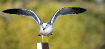 Black-tailed Gull Royalty Free Stock Photos