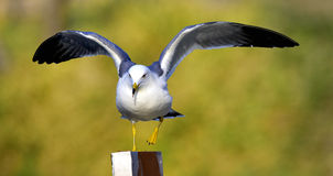 Black-tailed Gull Stock Image