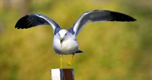 Black-tailed Gull Stock Image