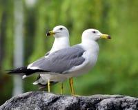 Black-tailed Gull Stock Photo