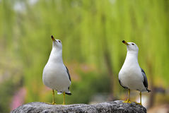Black-tailed Gull Stock Photography