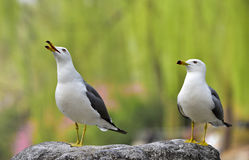 Black-tailed Gull Stock Images