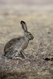 Black-tailed jack rabbit, Lepus californicus Royalty Free Stock Photography