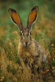 Black-tailed Jackrabbit. A black-tailed jackrabbit sitting head on in long  grass Royalty Free Stock Photo