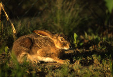 Black-tailed Jackrabbit. A black-tailed jackrabbit crouched down hiding from danger Stock Image