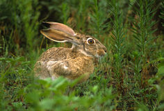 Black-tailed Jackrabbit. A black-tailed jackrabbit sitting in green weeds Stock Photography