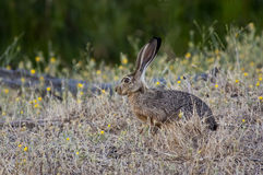 Black-tailed Jackrabbit. A black-tailded jackrabbit tries to camouflage amongst the grass and flowers Royalty Free Stock Photography