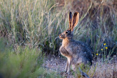 Black-tailed Jackrabbit. Profile portrait of a Black-tailed Jackrabbit at dawn at Sand Hollow State Park in Utah Royalty Free Stock Images