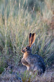 Black-tailed Jackrabbit. Profile portrait of a Black-tailed Jackrabbit at dawn at Sand Hollow State Park in Utah Royalty Free Stock Photography