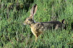 Black-tailed jackrabbit, don edwards nwr, ca Royalty Free Stock Images
